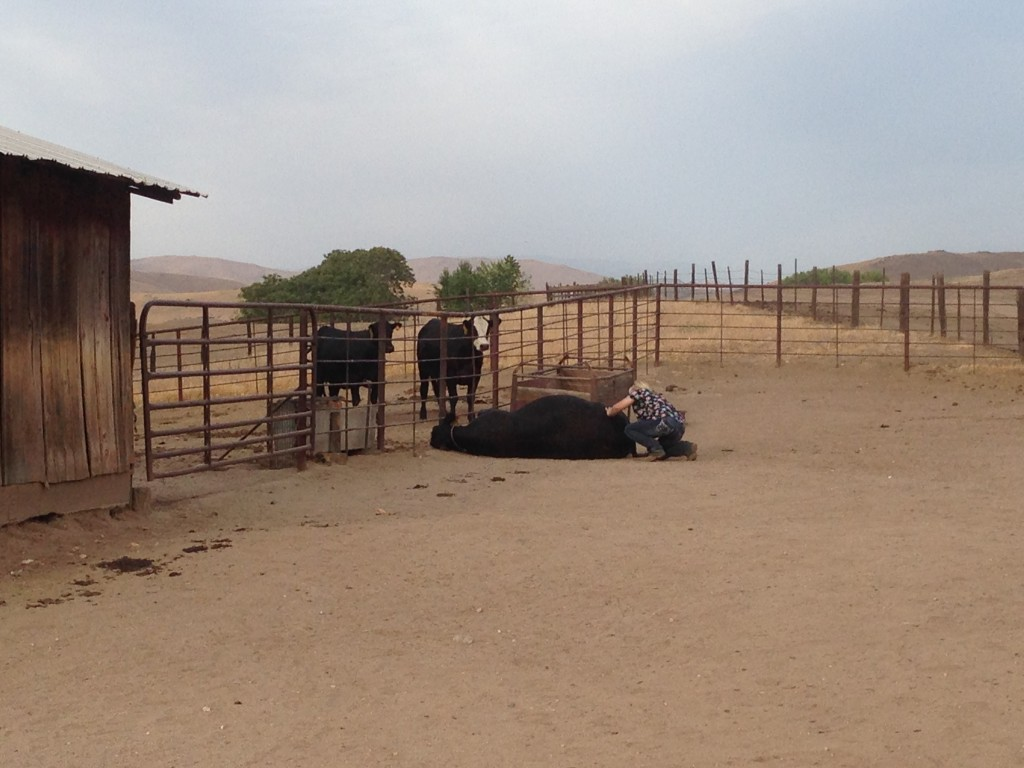 Our DVM determined it would be easier to get the calf out with the cow laying down.