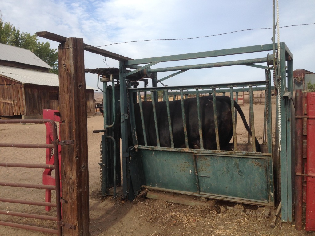 We put the heifer in the chute so our vet could safely evaluate her.