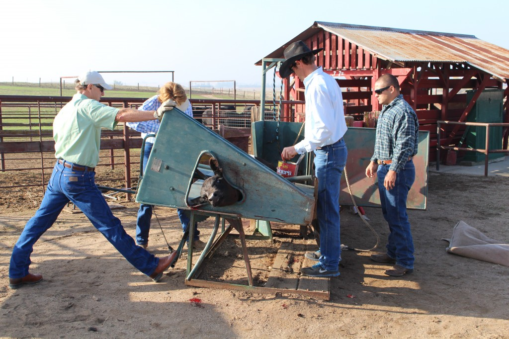 My dad flipping the calf table over, Brett castrating, Nick overseeing, and Mom branding.