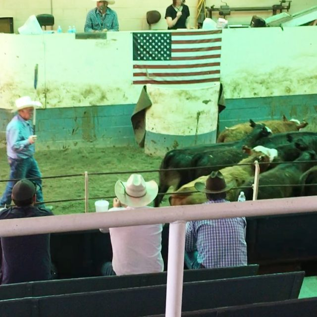 The dotseven heifers making us proud in the sale ring!hellip