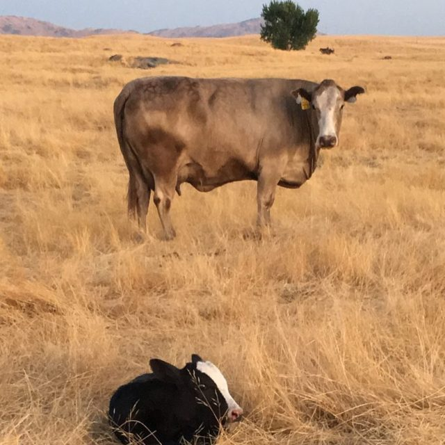 Finally! One of our favorite cows finally had a blackwhitefacehellip